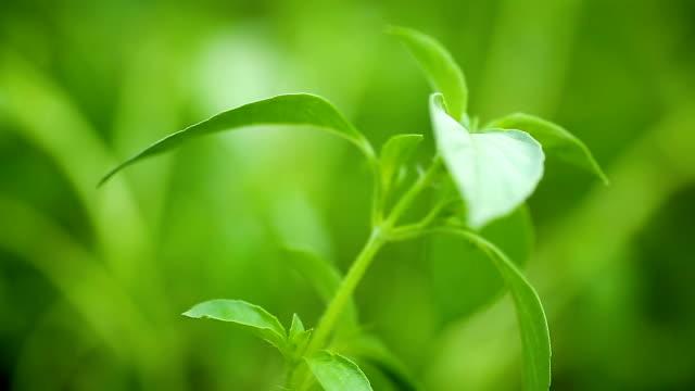 växer i det öppna luften, ung grön basilika - basilika ört bildbanksvideor och videomaterial från bakom kulisserna