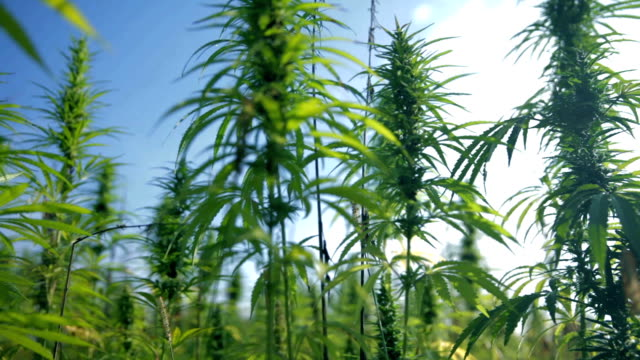HD: Growing industrial hemp HD1920x1080: High quality produced HD Stock Footage Clip of Industrial cannabis field and single hemp plants shots  from different angles while shaking in the wind on a sunny day near the roadside. hashish stock videos & royalty-free footage