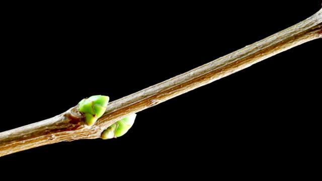 Growing leafs video