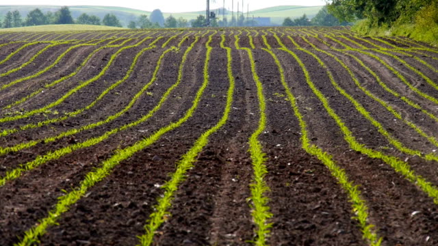 Growing Maize Corn Seedling Sprouts in Cultivated Agricultural Farm Field video