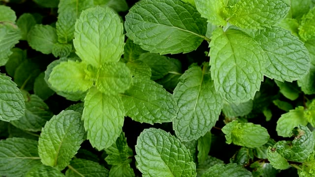 Growing mint plant leaves,Dolly shot video