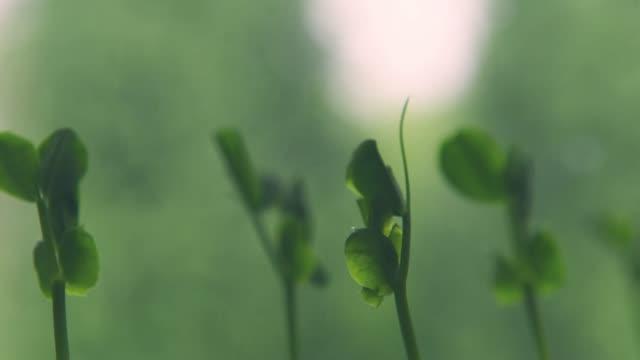 odling av groddar av ärter - pea sprouts bildbanksvideor och videomaterial från bakom kulisserna