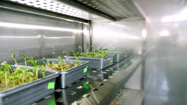 stockvideo's en b-roll-footage met teelt van jonge groene spruiten in de bodem, in kleine vakken op de planken van een speciale kamer, in moderne slimme laboratorium. groeiende ontkiemen van zaden van verschillende korrels, teelt van gewassen - floral line