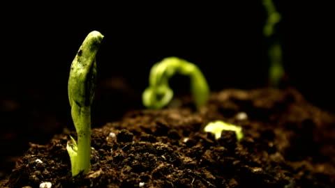vídeos y material grabado en eventos de stock de cultivo de haba de guisante en granja semillas agricultura timelapse - desarrollo