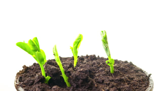 growing pea sprouts, 4k time-lapse - vite flora video stock e b–roll