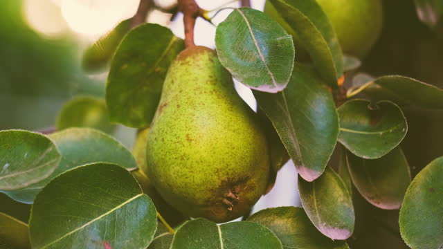梨の木に成長梨 - 熟していない点の映像素材/bロール