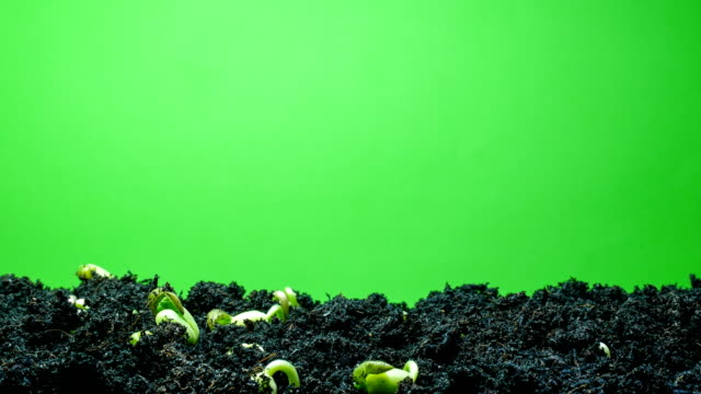 growing plant time lapse green screen background