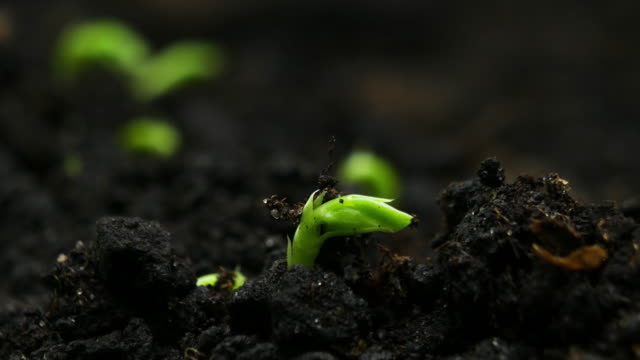 Growing plants in Spring Timelapse, Sprouts Germination newborn Pea plant in greenhouse agriculture Growing plants in spring timelapse, sprouts germination newborn Pea plant grow in greenhouse agriculture spring stock videos & royalty-free footage