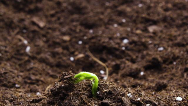 タイムラプスで植物を育てる、 芽生芽新生児植物 - 苗点の映像素材/bロール