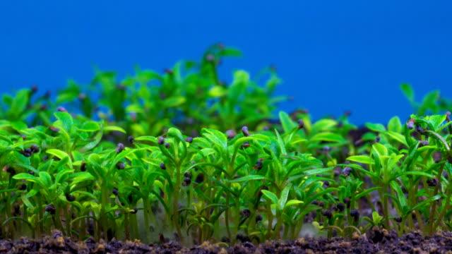 växande vallmo växt. - böngrodd bildbanksvideor och videomaterial från bakom kulisserna