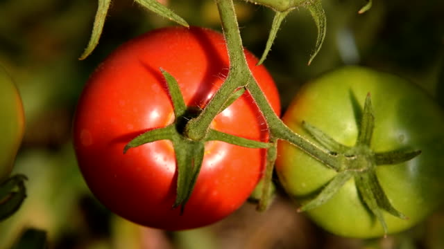 Growing red and green tomatoes video