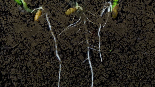 Growing roots of melon seeds video