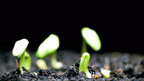 vidéos et rushes de de plus en plus gros plan laps de temps semences - graine