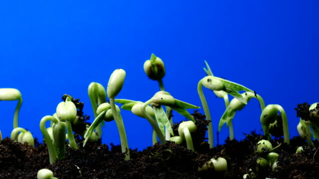 growing seedling blue screen time lapse zoom out shot .chroma key.UHD4K growing seedling blue screen time lapse zoom out shot.chroma key. UHD4K leaning stock videos & royalty-free footage
