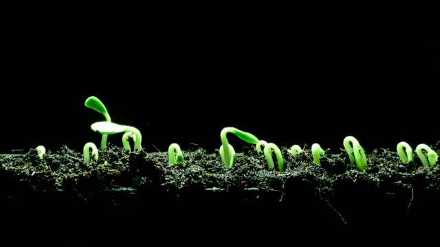 vídeos y material grabado en eventos de stock de lapso de tiempo de planta de semillero creciente - hierba planta