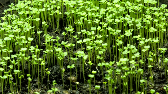growing seeds a new life of plant, time lapse video