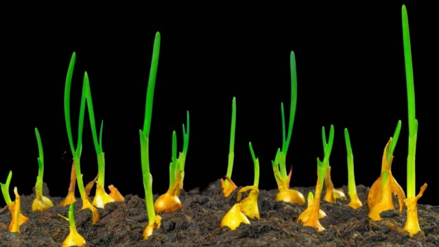 growing spring onions, time-lapse with alpha - aglio cipolla isolated video stock e b–roll