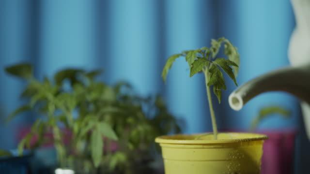 vídeos y material grabado en eventos de stock de brotes de tomates en crecimiento - tiesto