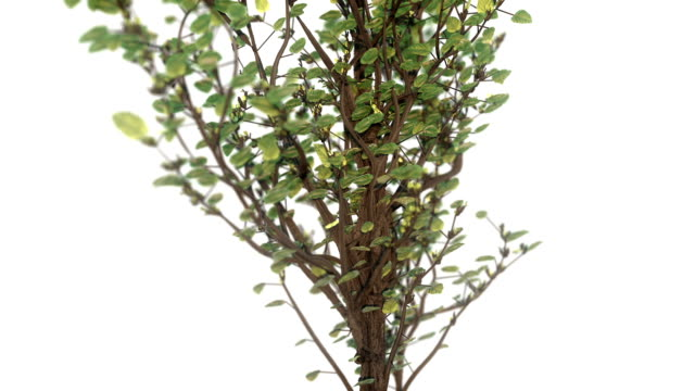 Growing tree 3d animation  on white background video