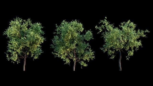rosnące drzewa 3 zmiany na białym tle - drewno tworzywo filmów i materiałów b-roll