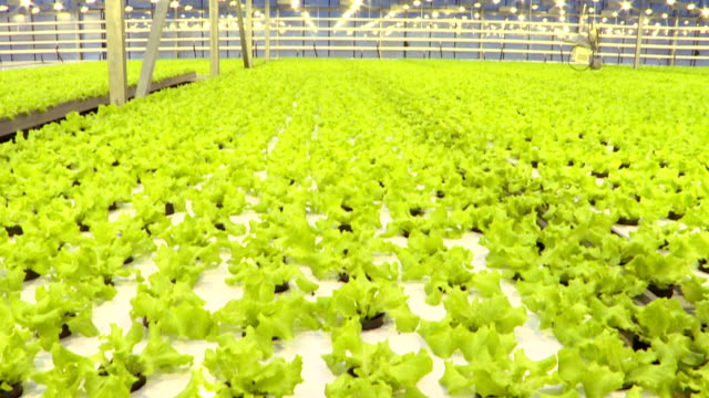 Growing vegetables in a greenhouse. Plantations of green salad. Growing vegetables in a greenhouse. Plantations of green salad. hydroponics stock videos & royalty-free footage