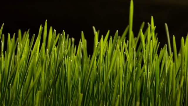 growing wheat seeds agriculture timelapse - grass stock videos & royalty-free footage