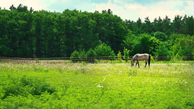 a grown-up horse of ashen color grazes on green grass near the forest. horse on the pasture on sunny day - criniera video stock e b–roll