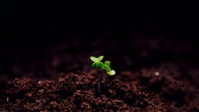 growth microgreens, timelapse video filming. - побег стоковые видео и кадры b-roll