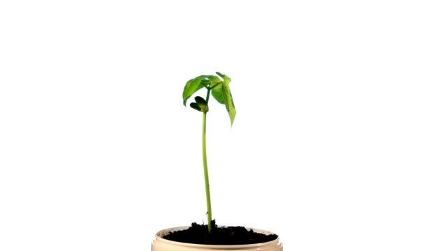 Growth of a green bean plant on a white background video