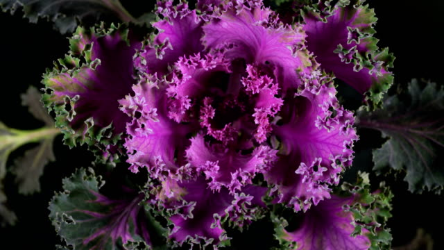 growth of decorative purple cabbage growth of decorative purple cabbage, time lapse cabbage stock videos & royalty-free footage