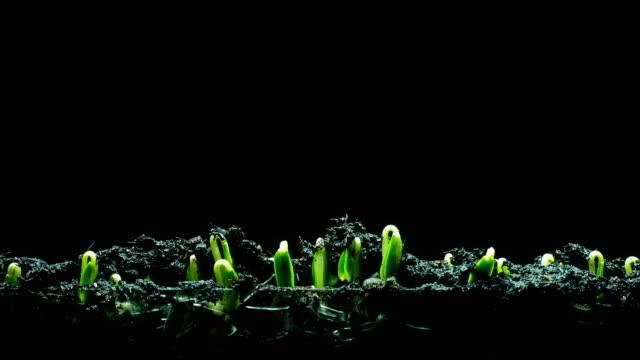 growth seeding time lapse black background 4k - plants filmów i materiałów b-roll