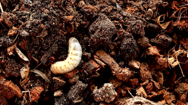 Grubs  in the soil. Grubs  in the soil. larva stock videos & royalty-free footage