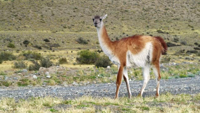 Guanaco grazing close to Torres del Paine in Chile Guanaco grazing close to Torres del Paine in Chile sorpresa stock videos & royalty-free footage