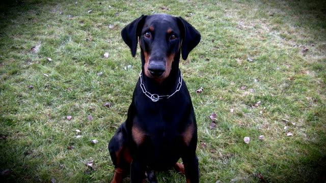 cane da guardia - cane addestrato video stock e b–roll