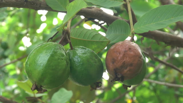 guava fruit on a tree