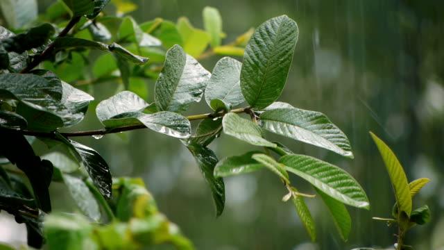 Guava Tree Leaves Rainstorm (HD) video