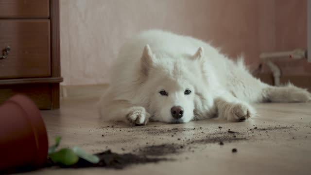guilty dog on the floor next to an overturned flower - грязный стоковые видео и кадры b-roll
