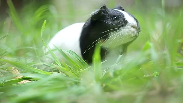 Guinea pig Cavia porcellus is a popular household pet.
