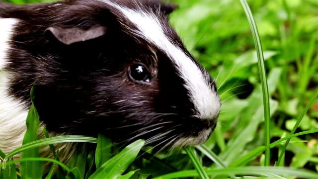 Guinea Pig Eating Grass Closeup video