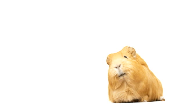 guinea pig says video