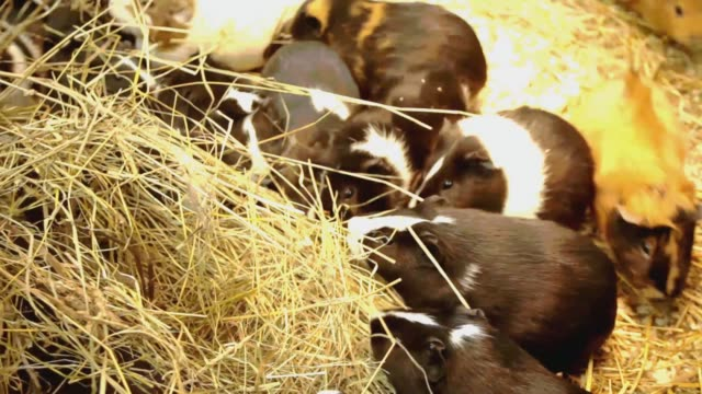 Guinea pigs eat a straw. Family of guinea pigs
