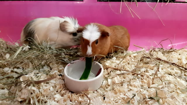 Guinea pigs eating cucumbers and beets