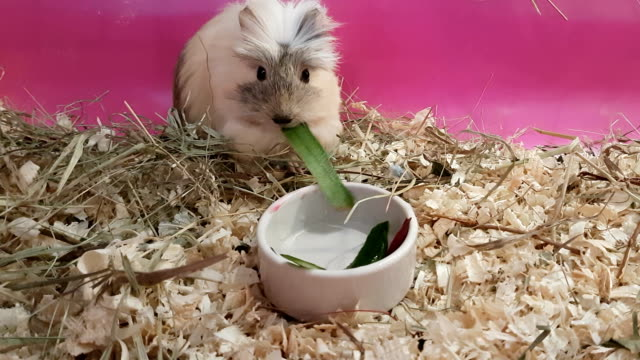 Guinea pigs eating cucumbers and beets video