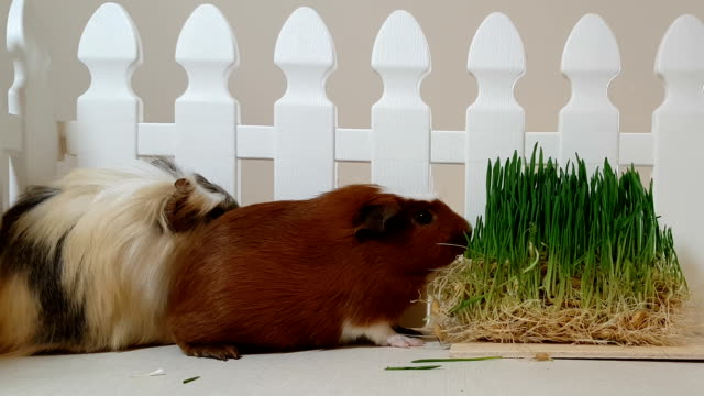 Guinea pigs eating sprouting oats