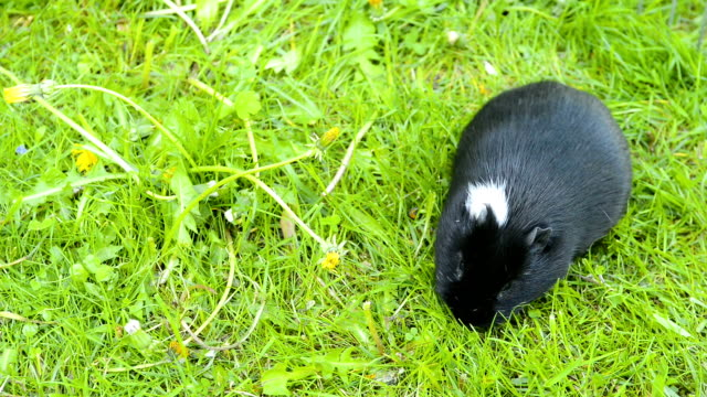 гвинея свиней в траве есть. - white background стоковые видео и кадры b-roll