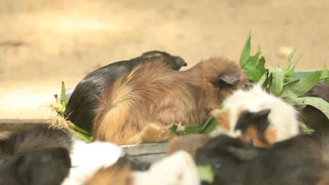 vídeos y material grabado en eventos de stock de conejillos de indias - vibrisas