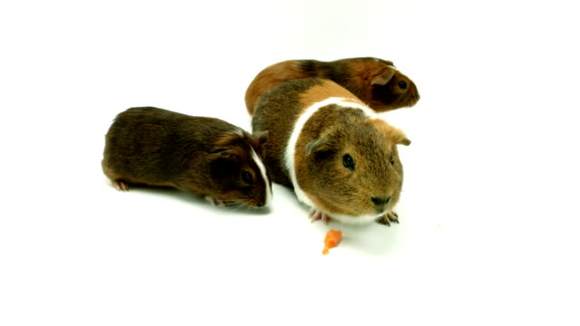 Guinea Pigs – Video