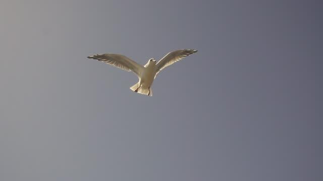 空にカモメ。スローモーション - 鳥点の映像素材/bロール