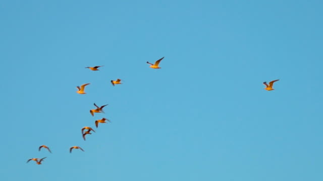 Gulls fly at sunset, in the golden color of the departing sun. Gulls fly at sunset, in slow motion. Birds are flying, blue sky background. Close-up. Slow motion.