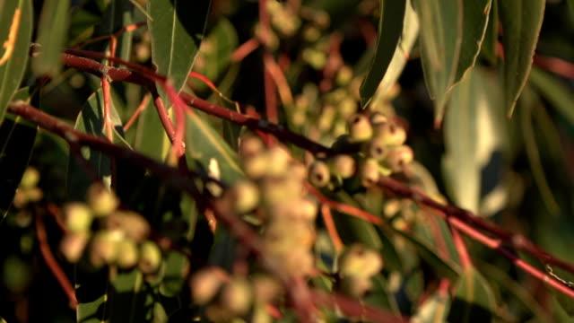 gum nuts in eucalyptus tree australia hd - eucalyptus leaves bildbanksvideor och videomaterial från bakom kulisserna